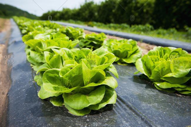 Lettuce growing in rows, Biglersville, Pennsylvania, United States of America