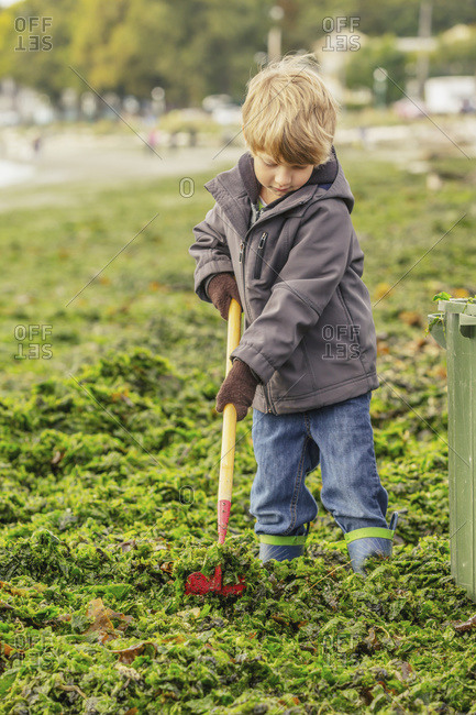 A young boy rakes seaweed from a beach for composting, Victoria, British Columbia, Canada