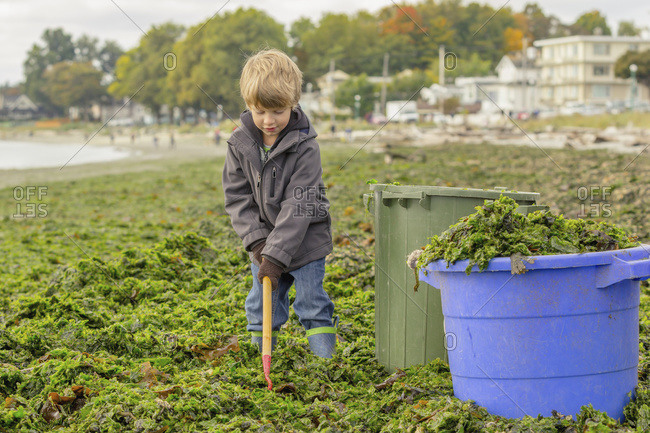A young boy shovels seaweed from a beach into buckets to take home for composting, Victoria, British Columbia, Canada