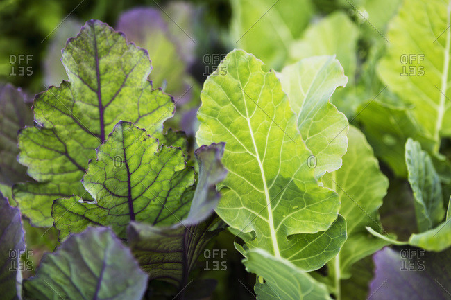 Close up of vegetable plants growing in a garden, Kachmak Bay, Alaska, United States of America
