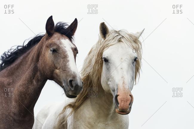 Wild horses in Theodore Roosevelt National Park, North Dakota, United States of America