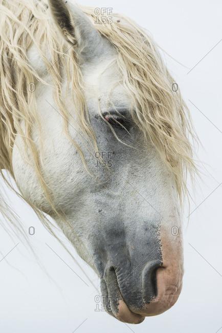 Portrait of a white wild horse in Theodore Roosevelt National Park, North Dakota, United States of America