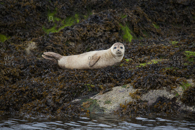 Seal on Garnish Island near Glengariff, County Cork, Ireland