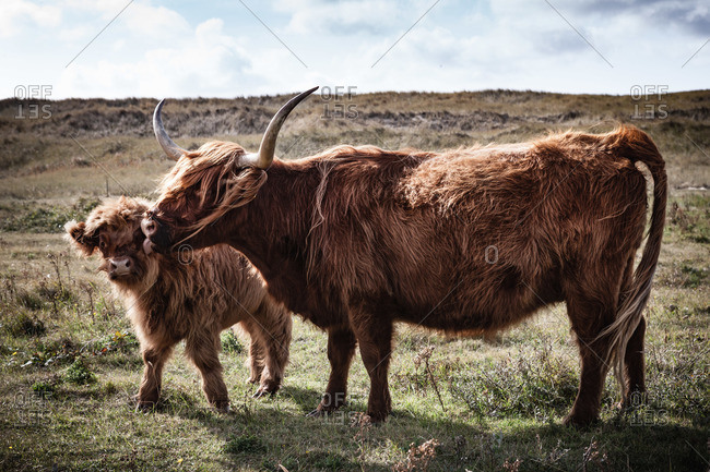 A highland cattle mother and calf