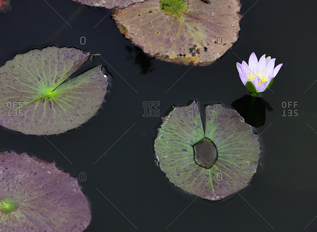 Lily pads in a pond