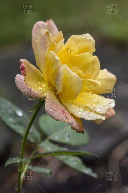 Garden rose after rain