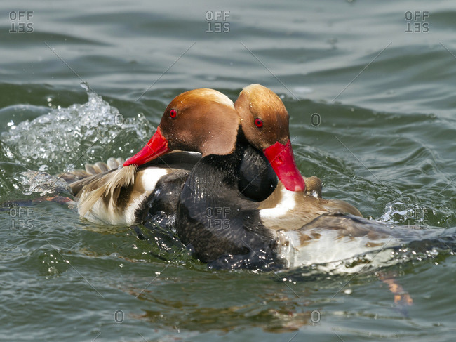 Male red-crested pochards, Netta rufina, hierarchic encounter