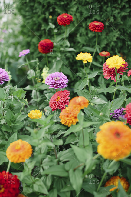 A patch of multi-colored dahlias