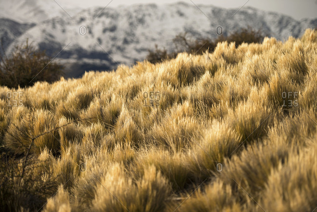 Coiron Blanco grass growing in Chile
