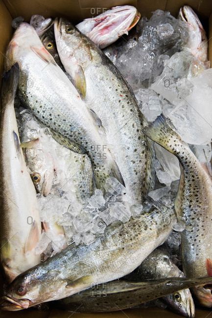 A crate of speckled sea trout from the fish market