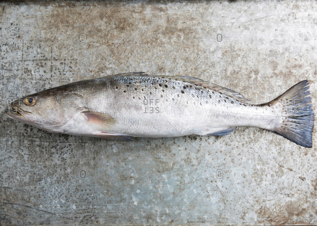 A freshly caught speckled sea trout