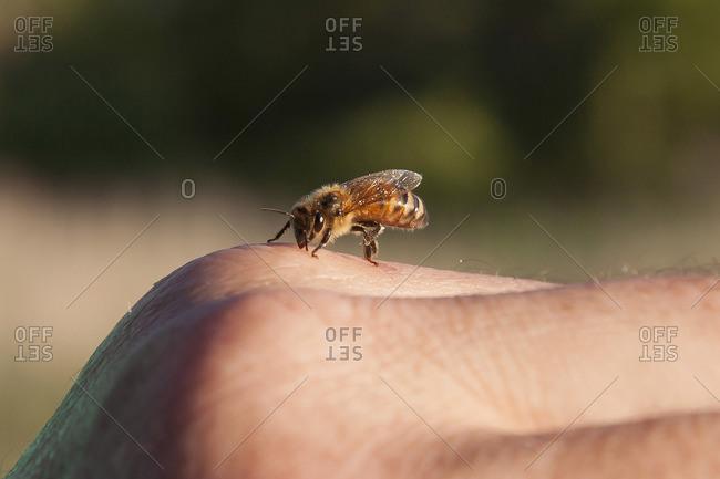 Italian honey bee close-up on a hand
