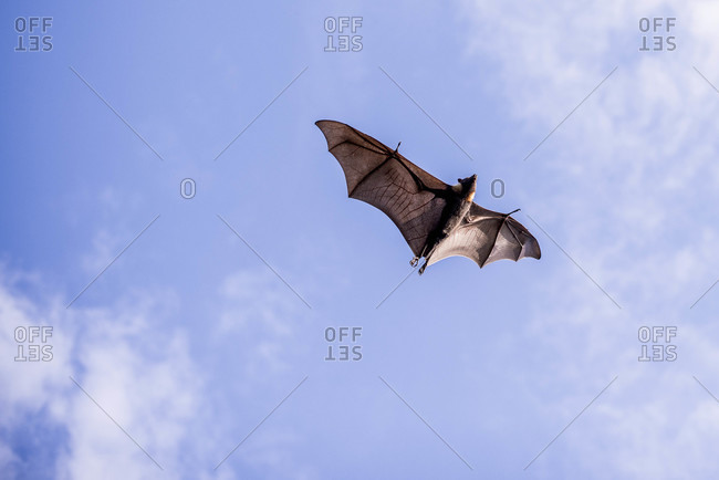 Underside of a bat in mid-air