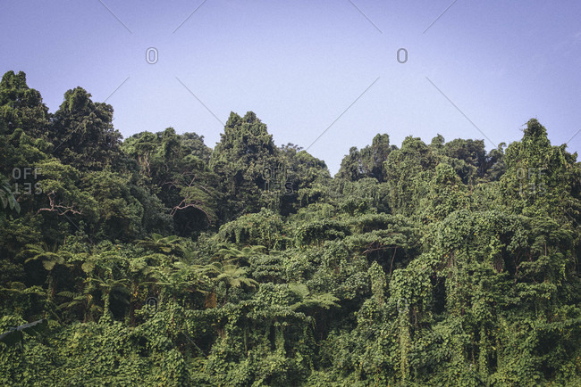 Dense growth in a tropical jungle