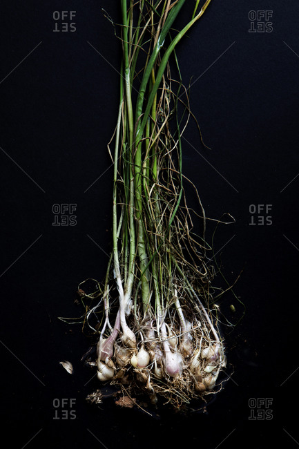 Cluster of onions on black background