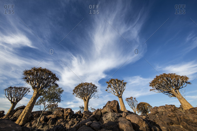 Quiver trees with big sky in Namibia