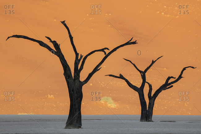 Camel thorn tree silhouettes in Namibia