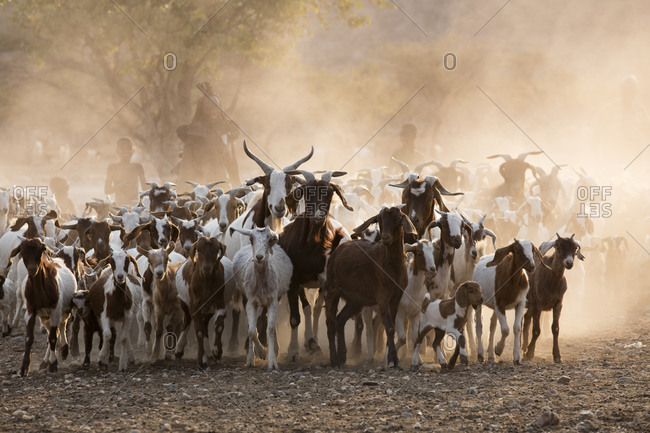 Himba people goat herding in Namibia