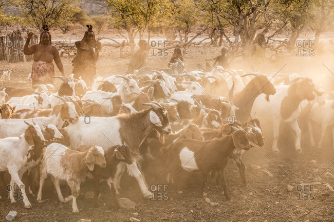 Himba tribe goat herding in Namibia