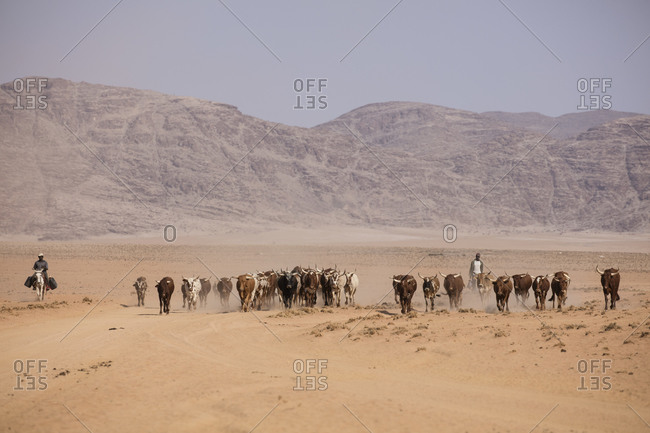 Herding long horns in Namibia