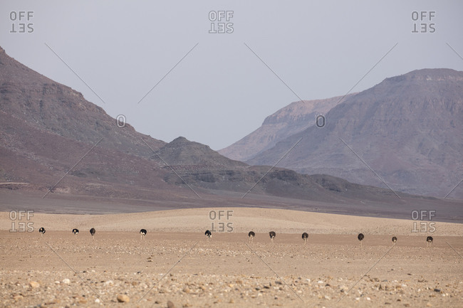 Ostriches in Namibia near mountains