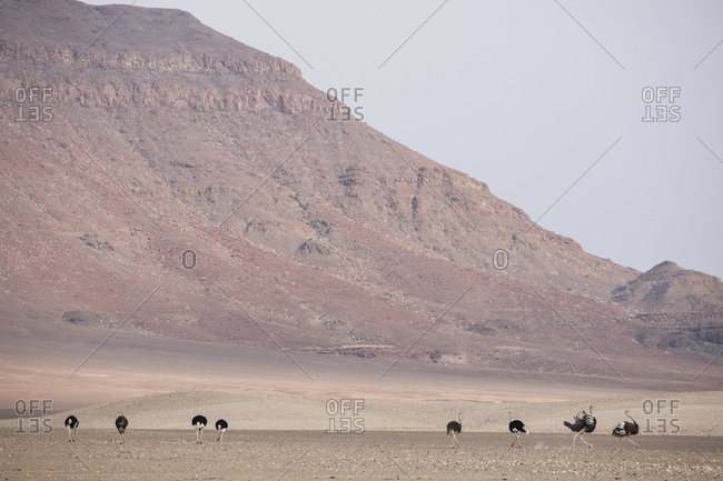Ostriches in Namibian desert near mountain