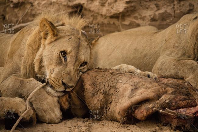 Desert lions with prey