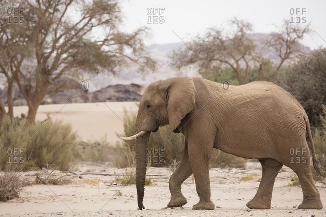 Elephant walking alone in Namibia