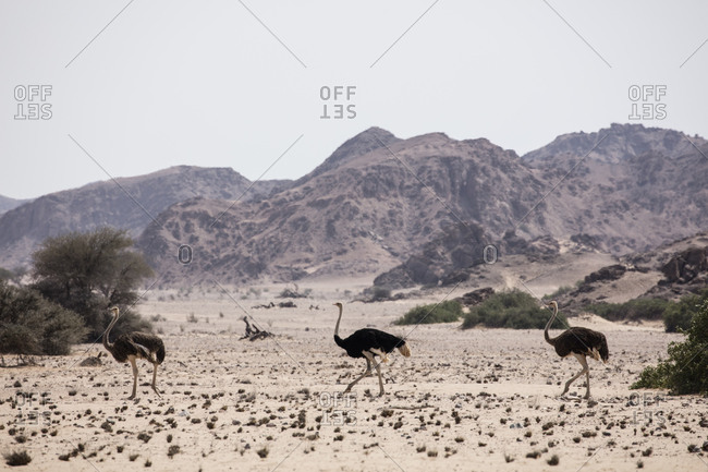 Three ostriches in Namibian desert