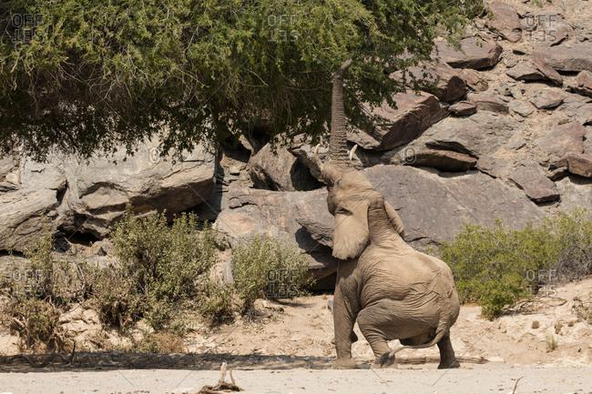 Desert elephant reaching up into tree