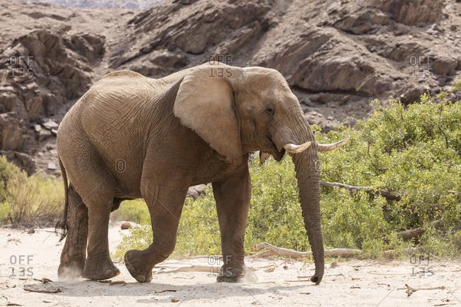 Desert elephant walking in bush