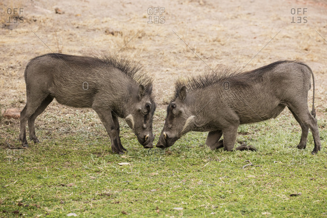 Two warthogs fighting in Namibia