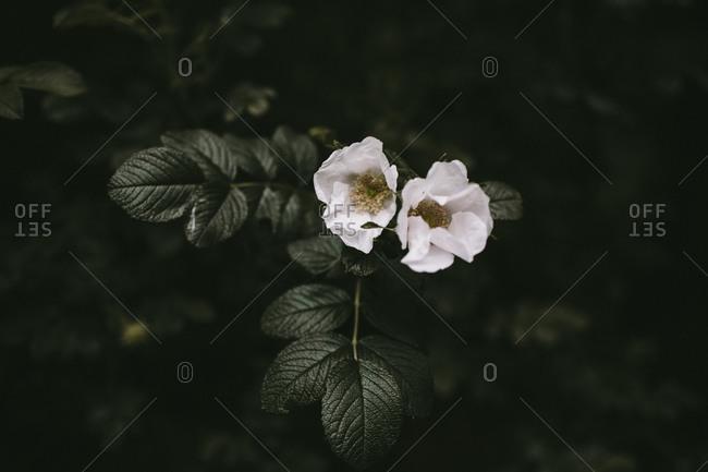 White shrub rose flowers in bloom on bush