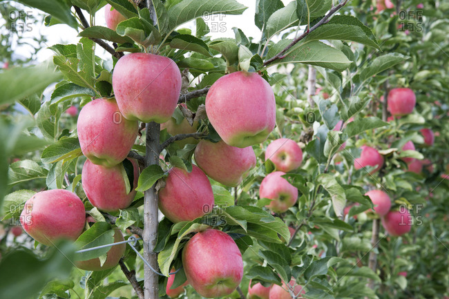 Ripe apples on a tree in Okanagan, British Columbia, Canada