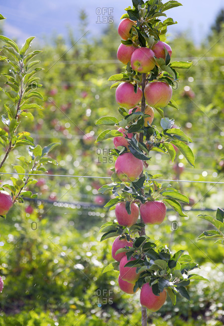 Ripe apples in Okanagan, British Columbia, Canada