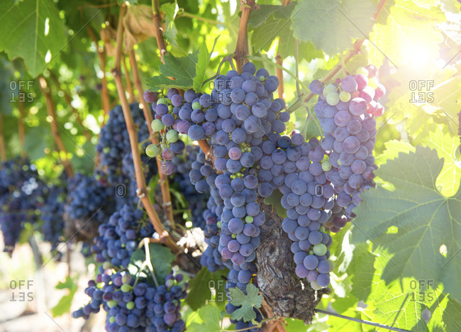 Grapes growing on a vine in a vineyard