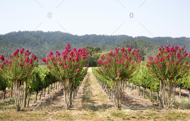 Rows of grapevines and crepe myrtles