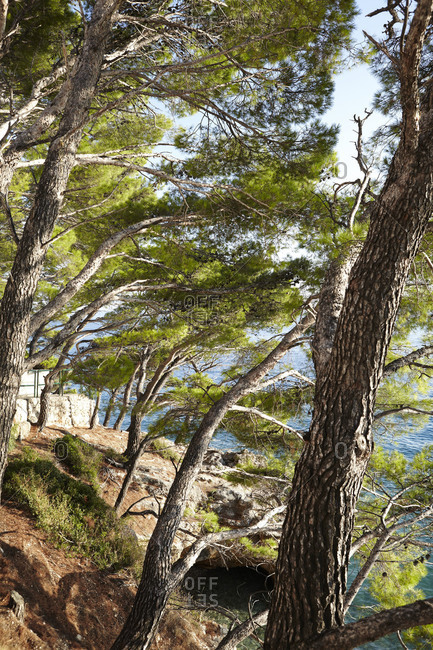 Pine trees at the edge of the ocean