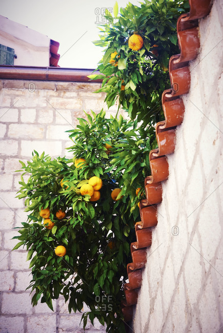 Orange tree branches growing over a roof