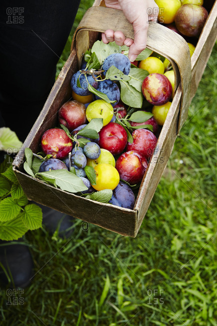 A variety of plums in a basket