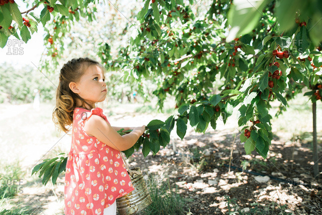 Little girl with a tin pail picking cherries
