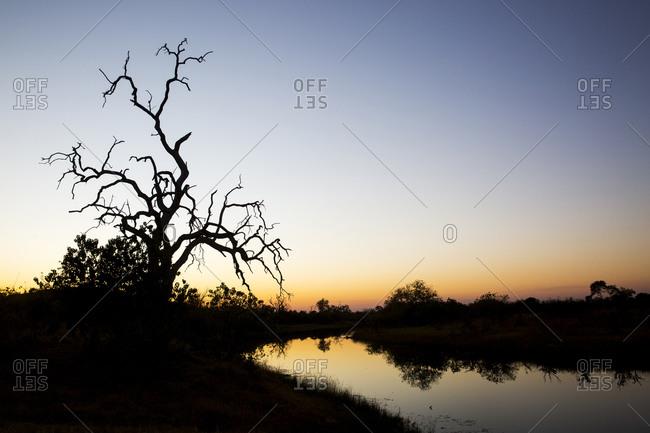 Gnarled remains of tree along newly flowing Savuti Channel in Okavango Delta within Kalahari Desert at dusk