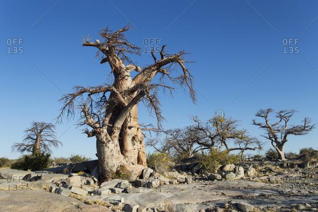 Baobab trees on dry granite outcrop of Kubu Island in Makgadikgadi Pan