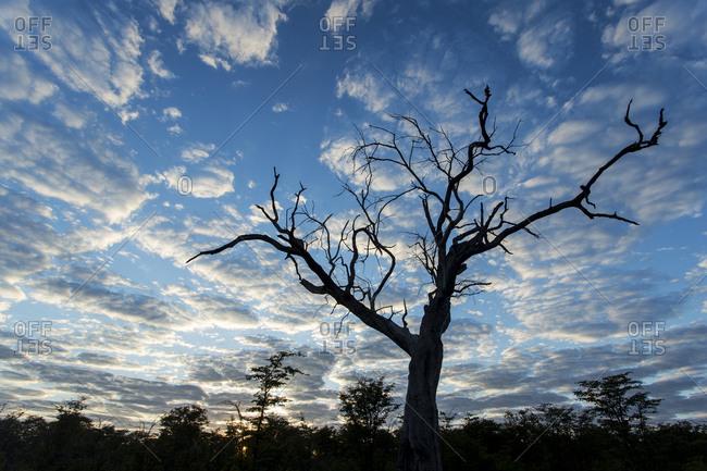 Silhouette gnarled tree in Okavango Delta at sunrise on winter morning