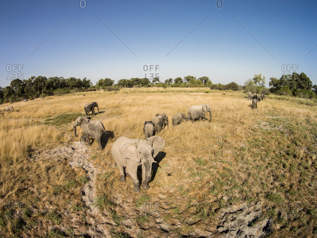 Aerial view of Elephant herd (Loxodonta africana) walking upon open plains in Okavango Delta in Kalahari Desert