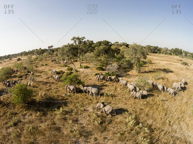 Aerial view of Elephant herd (Loxodonta africana) walking in Okavango Delta in Kalahari Desert