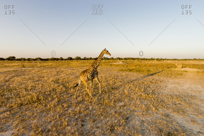 Aerial view of Giraffe (Giraffa camelopardalis) in Okavango Delta at sunset