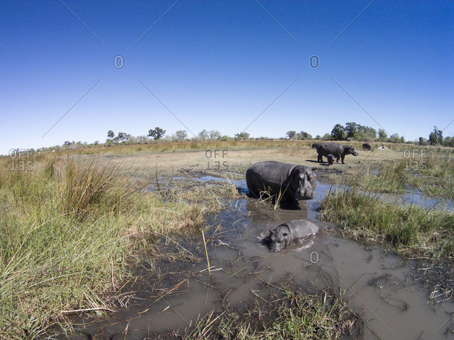 Aerial view of Hippopotamus (Hippopotamus amphibius) in wetlands of Okavango Delta