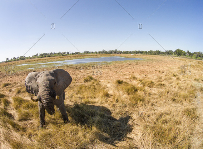 Aerial view of Bull Elephant (Loxodonta africana) in wetlands of Okavango Delta