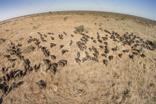 Aerial view of herd of Cape Buffalo (Syncerus caffer) in Savuti Marsh at sunset in Okavango Delta